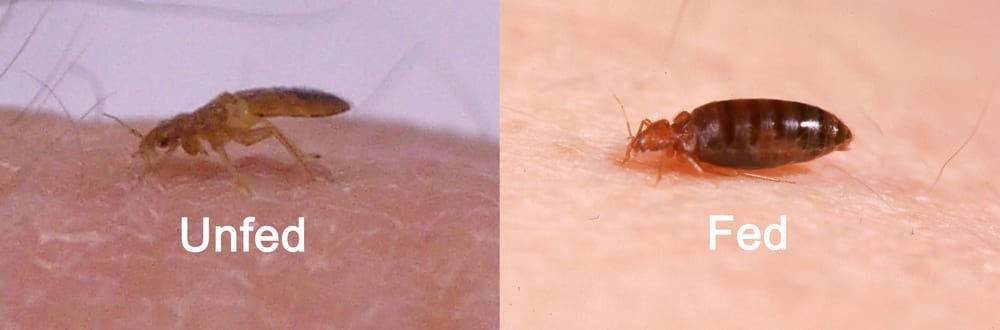 bite picture fed versus unfed bed bug